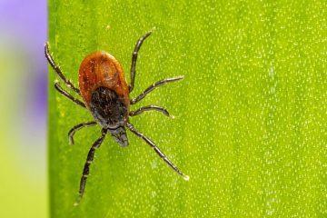 Borelioza, koinfekcje imiejsca zainfekowane
